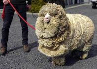 El impactante aspecto de Shrek, la oveja que estuvo 6 años escondida para no ser esquilada