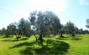¿Qué es un olivar ecológico y cuáles son sus beneficios?