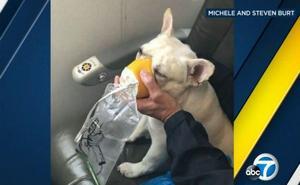 Un bulldog salva la vida en pleno vuelo gracias a una mascarilla de oxígeno