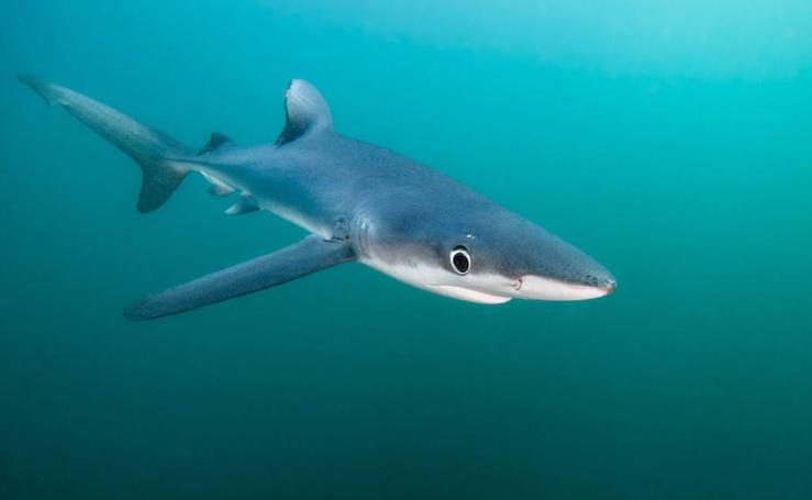 Los 7 tiburones que puedes encontrarte en el Mediterráneo
