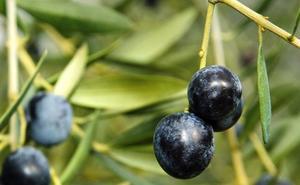 UGT pide «más contundencia» para frenar los aranceles de EEUU a la aceituna negra de mesa