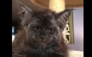 Asombro en la Red por el gato con cara de humano