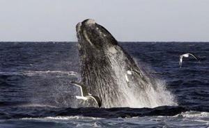 Las ballenas franca y gris vivieron en el Mediterráneo