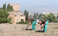 La Alhambra recupera el cultivo del espárrago en las Huertas Medievales del Generalife
