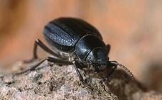 Rastrean la fascinante evolución de los escarabajos