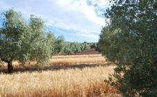 El cultivo de cebada cervecera en olivares de Huelma y Navas demuestra el ahorro de agua y el freno de la erosión