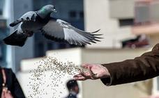 Los olores naturales, claves para la orientación de las palomas