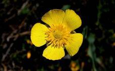 El 'botoncillo de la Ragua' una nueva especie en Sierra Nevada