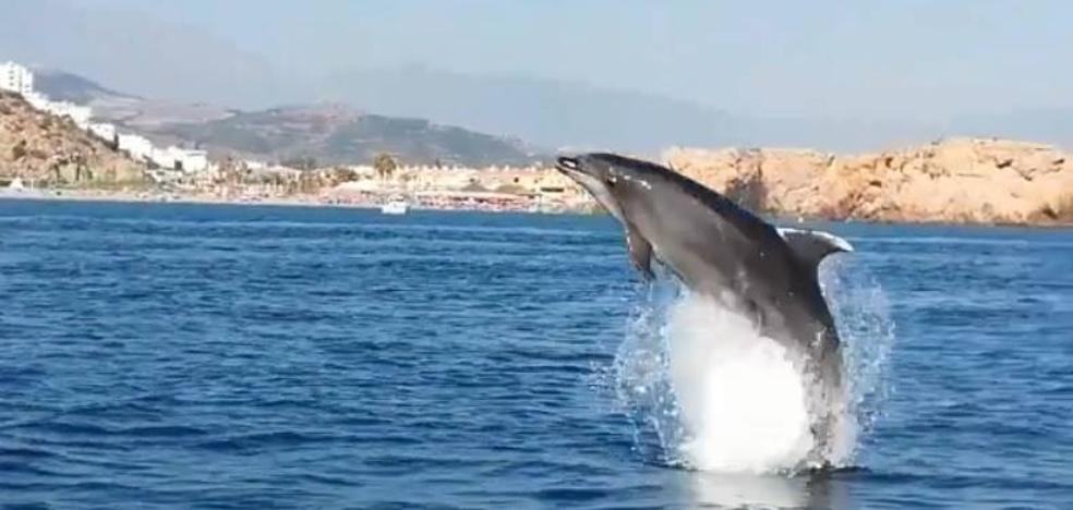 Una colonia de delfines regala espectaculares imágenes a los bañistas en la playa de Salobreña