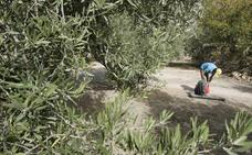 Alivio en Jaén por los 1.400 negativos en Xylella tras el caso de Almería