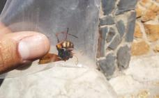 Investigan si una avispa hallada en Cenes de la Vega es de las asiáticas
