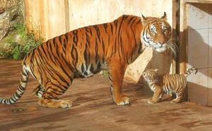 Nace un tigre de bengala en un Parque de Cantabria