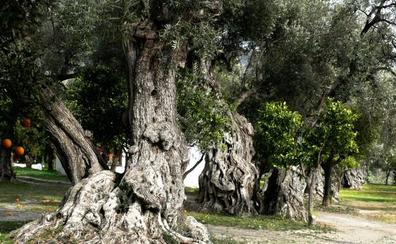 El olivar y la cultura