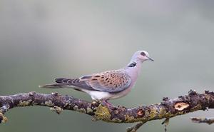 Los cazadores ya pueden cazar palomas, urracas, codornices y más especies