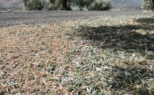 Olivares de la provincia pierden hasta la mitad de su aceituna por la tormenta y el granizo