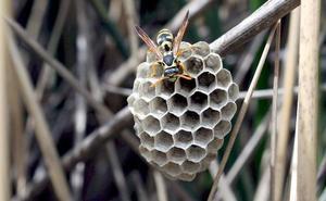 Muere en Montillana un hombre alérgico a las avispas tras sufrir una picadura