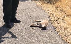 Muere atropellado otro lince ibérico en el Jándula