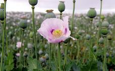 El lugar de España donde es legal cultivar opio: «Es una planta muy rentable»