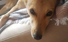 500 euros para quien encuentre a Nala, una perra desaparecida en Jaén