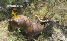 'Liberan' varios ciervos en Jabalcuz y matan de un disparo a uno de ellos