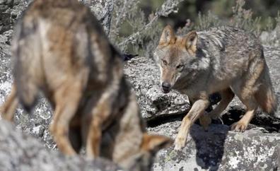 Decapitan a un lobo y arrojan sus restos a una piscina pública en Asturias