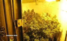 Cierra agosto con 28 investigados por tener 8.000 plantas de cannabis en Granada