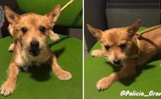 ¿Conoces a este cachorro perdido? La Policía Local de Granada busca a sus dueños