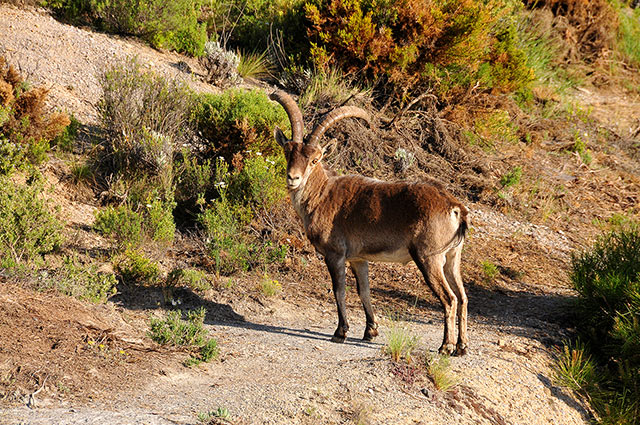 Ciervos, jabalíes y montesas saturan sus territorios
