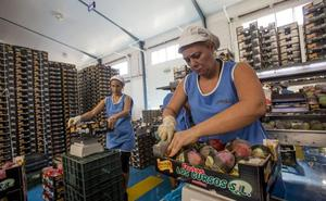 La Costa Tropical batirá su récord histórico de producción de mango en esta campaña