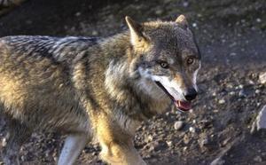 El perro lobo se pone de moda