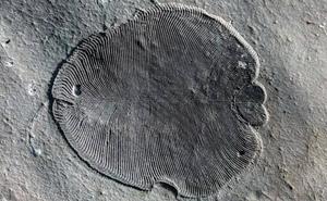Dickisonia, el animal más antiguo de la Tierra
