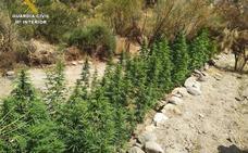 Incautadas más de 4.600 plantas de marihuana durante el pasado fin de semana en Lújar y Otura