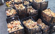 Decomisan más de 130 kilos de níscalos recolectados ilegalmente en Bacares