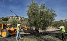 Andalucía prevé una producción de aceituna de mesa de 521.772 toneladas