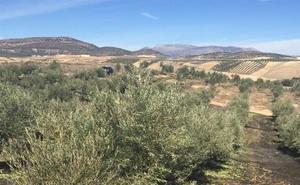 Siembran azafrán en los surcos de olivares de Jaén para luchar contra la erosión