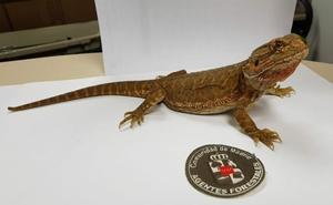 Hallan un dragón barbudo, una especie autóctona australiana, en el jardín de un chalet de Madrid