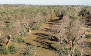 CSIC y el sector del olivar aúnan fuerzas para luchar contra la 'Xylella fastidiosa'