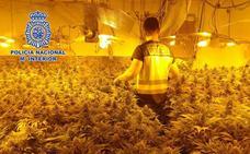 Encuentran 180 plantas de marihuana en un tríplex de Villablanca
