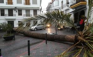 Cae una palmera de gran tamaño en la plaza de la Constitución de Molvízar