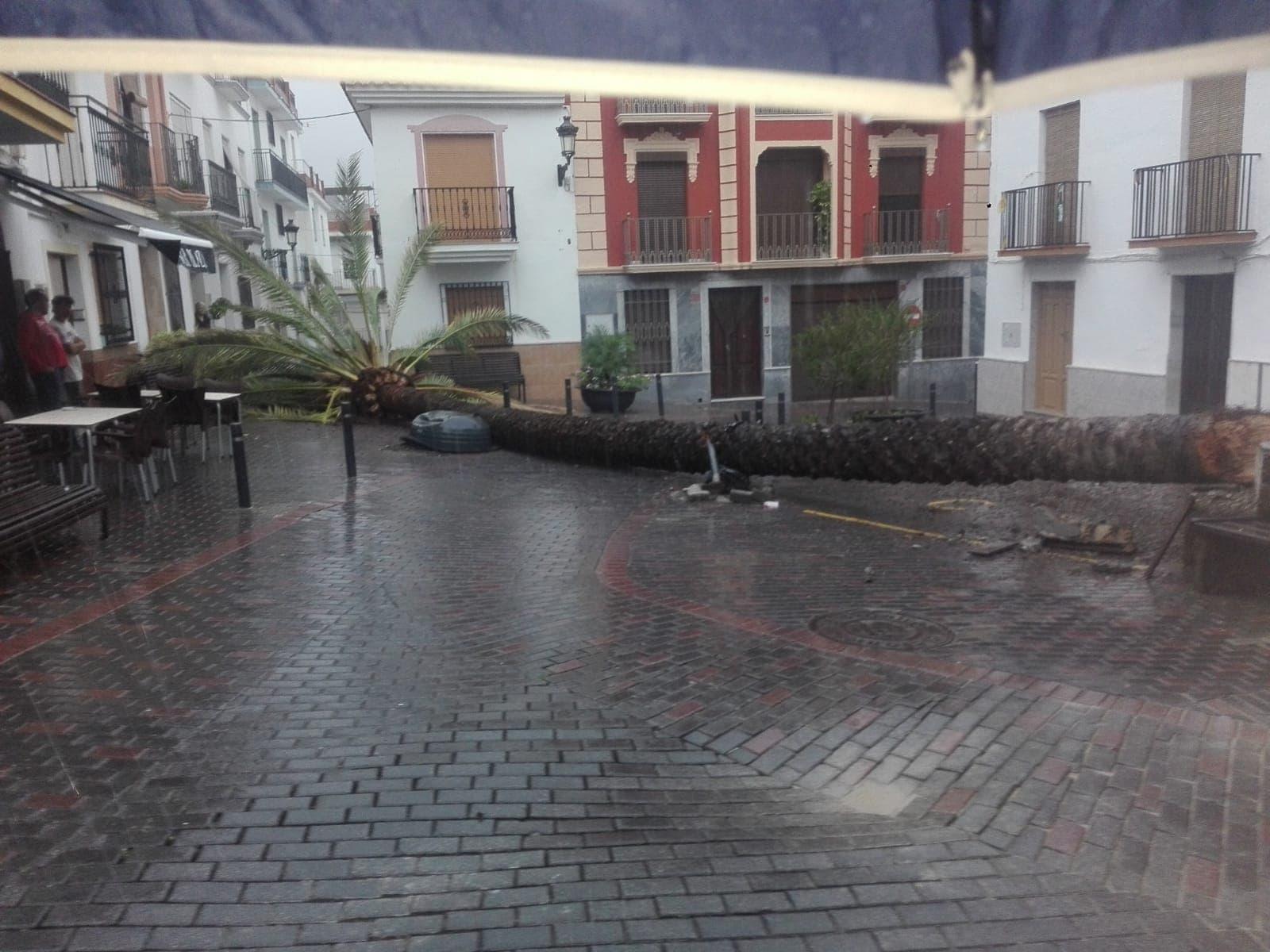 Una enorme palmera cae sobre la calle en Molvízar