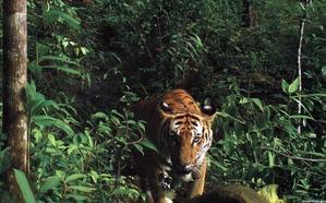 Utilizan un famoso perfume para capturar a un tigre que mató a 13 personas