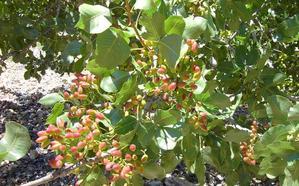 IFAPA y Caja Rural organizan una jornada sobre cultivo del pistachero