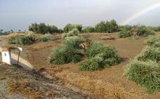 La Guardia Civil investiga la tala de olivos en Porcuna