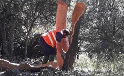 La campaña del corcho se cierra en Despeñaperros con una recogida de 221.000 kilos, un 17% más de lo previsto