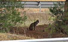 Fomento formaliza el contrato para ejecutar un paso de fauna en la autovía A-4 y evitar atropellos de linces