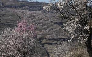 La producción de almendra superará las 2.700 toneladas en la provincia