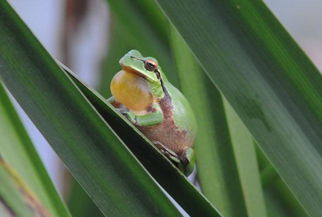La ranita verde del humedal