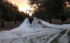 Jaén triplica el número de aceites tempranos en tan solo cinco años