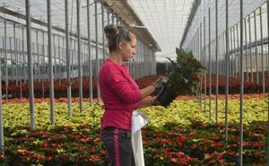 La mayor demanda de la flor de pascua incide en un aumento de la producción en la presente campaña