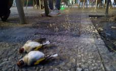 Jilgueros de plaza de Gracia caen de los árboles por causas desconocidas